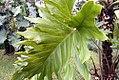 Philodendron Sao Paulo 2zz.jpg
