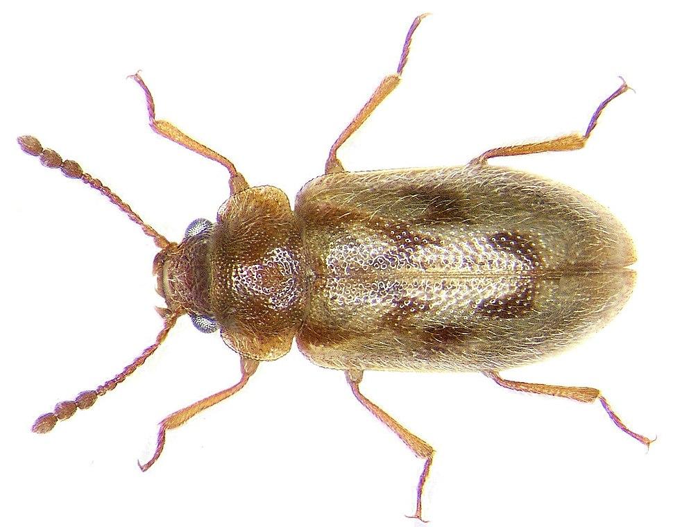 Phloiophilus edwardsi Stephens, 1830 (3176606963)