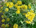 Phlomis fruticosa.jpg