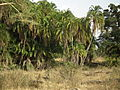 Phoenix reclinata, Flora of Tanzania 3289, Nevit.jpg