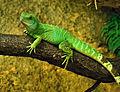 Physignathus cocincinus Zoo Amneville 28092014 2.jpg