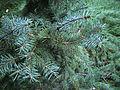 Picea asperata of beijing.jpg