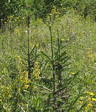 Picea obovata - Young Siberian spruce trees, Khanty–Mansi Autonomous Okrug (Russia)