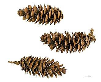 Picea orientalis - Image: Picea orientalis MHNT.BOT.2005.0.970