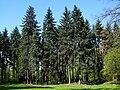 Picea pungens glauca.JPG