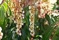 Pieris japonica Valley Rose 0zz.jpg