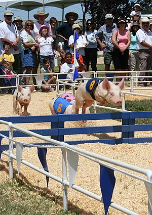 Pig racing - Pigs race down the track.
