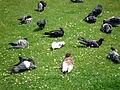 Pigeons 1 2012-07-08.jpg