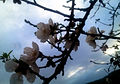 PikiWiki Israel 28809 Almonds Blossoms.jpg