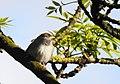 Pilfink Eurasian Tree (19729714113).jpg