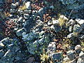 Pilot Rock Succulents.JPG