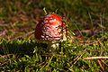 Pilz im Forst Rundshorn IMG Forst Rundshorn IMG 1758.jpg