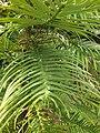 Pinales - Wollemia nobilis - 4.jpg
