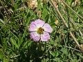 Pink Rock-Rose 03.jpg