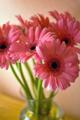 Pink gerbera daisies in a vase.png