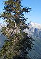 Pinus balfouriana Trinity Alps Wilderness 2.jpg