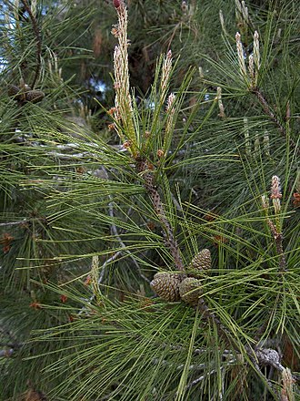 Pinus brutia - Turkish pine foliage and cones