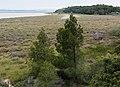 Pinus halepensis, Réserve naturelle régionale de Sainte Lucie.jpg
