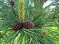 Pinus ponderosa young cones.jpg