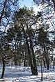 Pinus sylvestris Marki 4.JPG