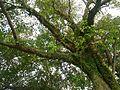 Pippal tree 3.jpg