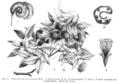 Pithecolobium sp Taub61.png
