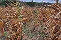 Plantação de Milho (seco).JPG