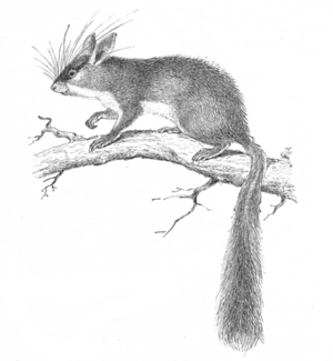 Malabar spiny dormouse - Illustration showing the distinctive bushy tail