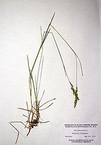 Poa pratensis ssp. pratensis BW-1979-0522-0504.jpg