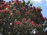 M. excelsa, maorimyrten