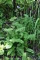 Polemonium laxiflorum (Polemoniaceae) (35404219750).jpg