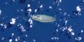 Poll Island, Torres Strait (Landsat).png