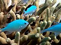 Pomacentrus pavo - Blue damsel fish (11006847895).jpg