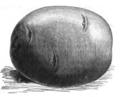 Pomme de terre rosette Vilmorin-Andrieux 1883.png