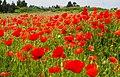 Poppy Field (19327484626).jpg