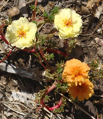 Mutation - A mutation has caused this garden moss rose to produce flowers of different colors. This is a somatic mutation that may also be passed on in the germline.