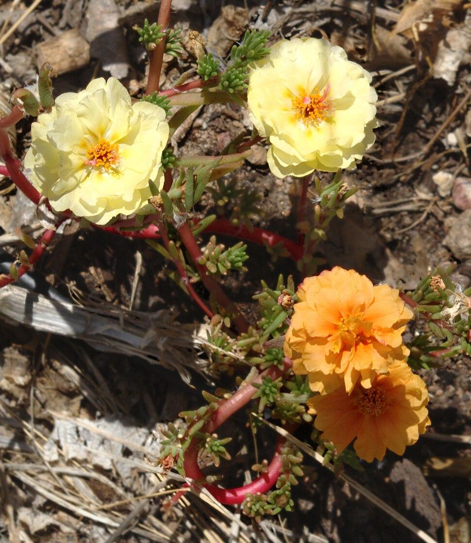 Portulaca grandiflora mutant1
