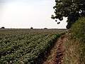 Potato Field - geograph.org.uk - 194418.jpg
