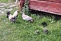Poultry .jpg