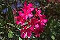 Pouzolles - Nerium oleander.jpg