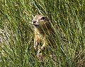 Prairie Dog at Grasslands (14598767654).jpg