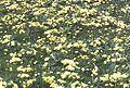 Primroses - geograph.org.uk - 200626.jpg