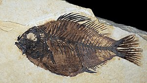 Priscacara liops Green River Formation.jpg