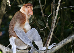 Proboscis Monkey in Borneo.jpg