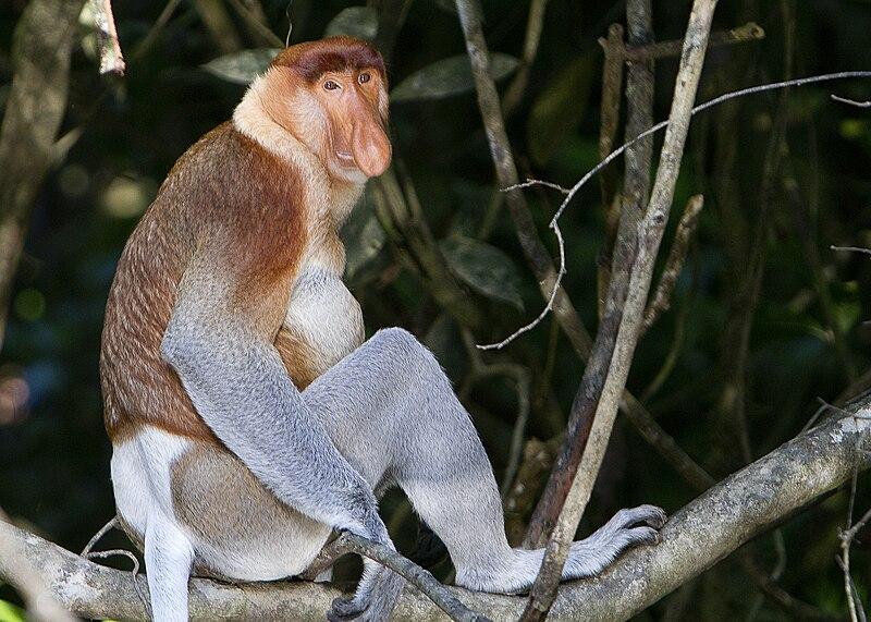 حديقة حيوانات المركز الدولى  - صفحة 5 800px-Proboscis_Monkey_in_Borneo
