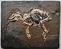Propalaeotherium messelense 9349.jpg