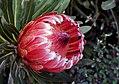 "Protea ""Pink Ice"" (10065364264).jpg"