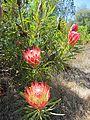 Protea sp.? (8044390644).jpg