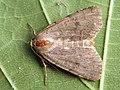 Protolampra sobrina - Cousin German - Земляная совка красноголовая (39288839320).jpg