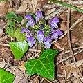 Prunella grandiflora in Aveyron 04.jpg
